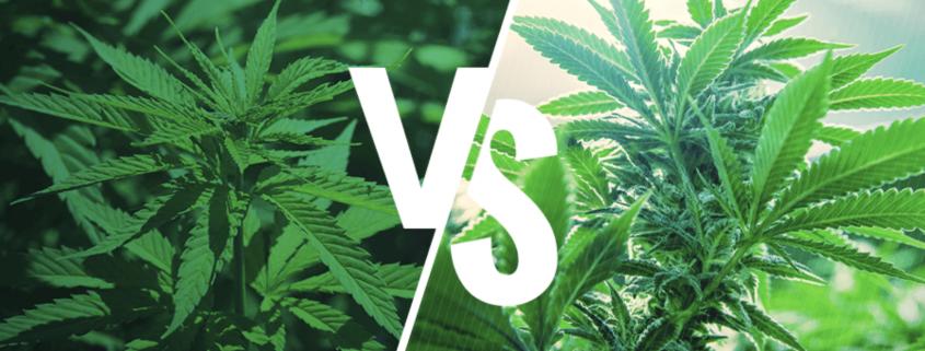 Sativa vs indica cannabis